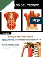 musculos_tronco