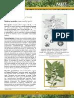 Aristotelia chilensis