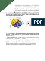 Guia Corteza Cerebral y Areas