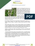 Usos del Acanto (Acanthus mollis) como planta medicinal