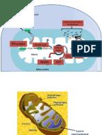 Esquema de Mitocondria y Cloroplasto