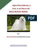 4 Consejos Para Educar y Adiestrar a un Perro de Raza Bichón Maltés