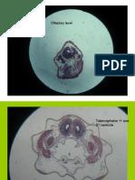 10mmfrog Olfactory Heart