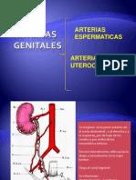 Arterias Genitales