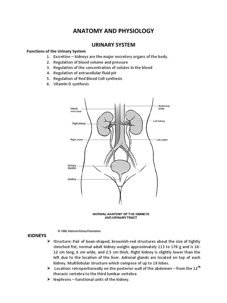 Kidney Anatomy and Physiology   Kidney   Anatomy