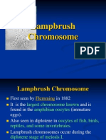 Lampbrush Chromosome