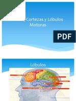 Áreas, Cortezas y Lóbulos Motoras