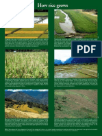 RT Vol. 2, No. 1 How rice grows