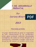 Diapositivas Etapas Del Desarrollo Prenatal