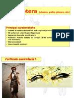 Ord. Dermaptera