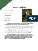 Otrava Lupului,Gluga Calugarului(Aconitum)