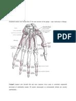 Anatomia Oaselor Mainii
