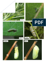 Ciclo de Vida de La Mariposa Monarca