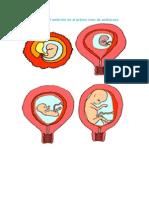 desarrollo embrional