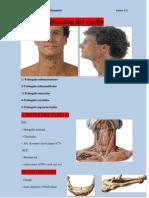 Músculos del tronco y cuello