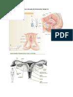 Anatomi Dan Fisiologi Organ Reproduksi Wanita Sc 3 Akbar