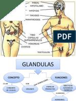 Mapa Conceptual de Glandulas