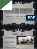 Principales Razas, Seleccion y Cruza de Cerdos