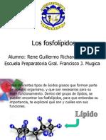 Los fosfolípidos