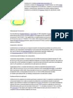 telomerasa