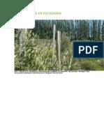 Olivicultura en Patagonia