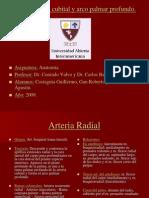 Anatoma-Arterias Radia Lcubital y Arco Palmar