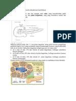 Anatomi Dan Histologi Kelenjar Pankreas