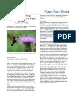 Field Thistle