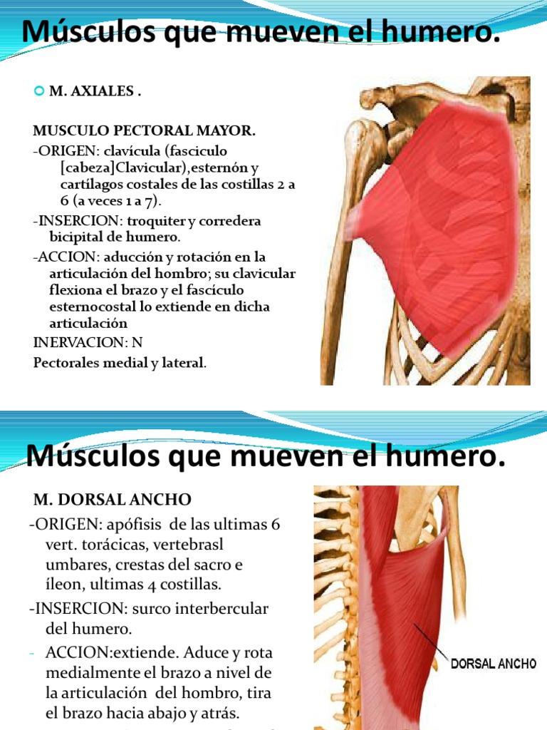 musculos que mueven el humero