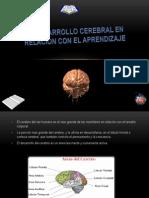 El Desarrollo Cerebral en Relacion Con El Aprendizaje
