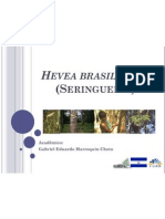 Hevea Brasiliensis (Seringueira)