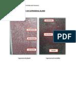 Practical Histology of Suprarenal Gland