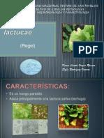 Bremia lactucae