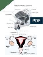 Alat Reproduksi Pada Pria Dan Wanita