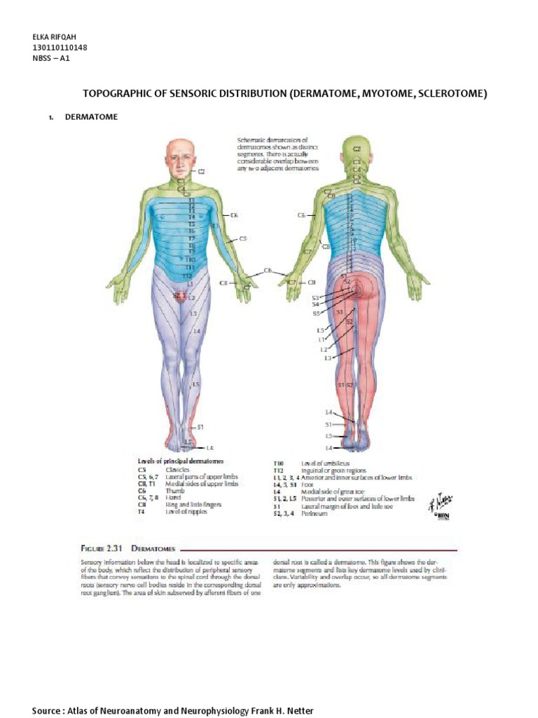 Dermatome Myotome Sclerotome Nerve Anatomical Terms Of Motion