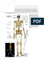 Sistemul Osos + Sistemul Muscular La Om