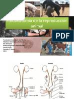 Fisioanatomia De La Reproduccion Bovina