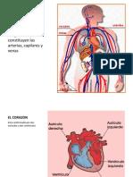Sistema Circulatorio e Inervacion de Cabeza y Cuello