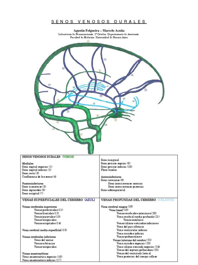 Lujoso Pecho Anatomía Venosa Componente - Anatomía de Las ...