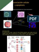VI. Diferenciación celular