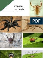 Filo Arthropoda Arachnida