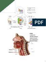 Anatomía del Cuello parte 2