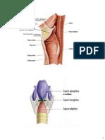 Anatomía del Cuello parte 4