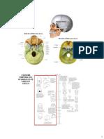 Anatomía del Cuello parte 6