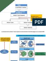 Clase Inmuno (activación de LinfT y B)