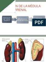 Función de la médula suprarrenal