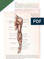 Mușchii membrului superior