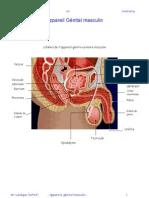 Cours d'Anatomie Appareil Genital Masculin