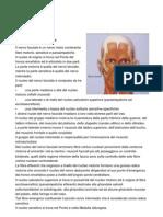 nervo faciale VII
