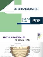 ARCOS BRANQUIALES L.H.pptx